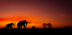 Silhouette Mother Elephant and Baby Elephant  are walking on the sunset background.