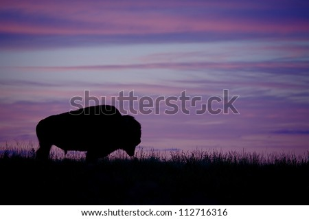 Silhouette of a Bison / Buffalo against a colorful sunset, Montana; purple sky / prairie wildlife
