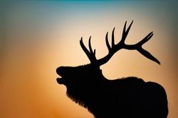Silhouette of a bugling Bull Elk at sunset.