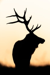 Silhouette of a Bull Elk at sunset.