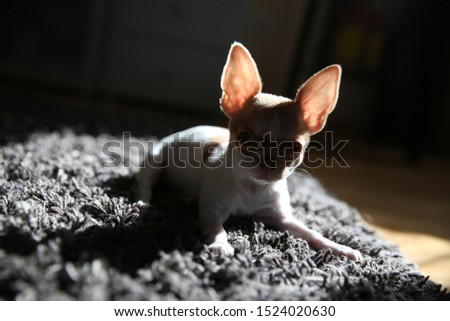Silhouette of a chihuahua puppy.Chihuahua puppy resting on the carpet and basking in the sun.   #1524020630