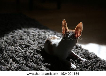 Silhouette of a chihuahua puppy. Chihuahua puppy resting on the carpet and basking in the sun.   #1524024164