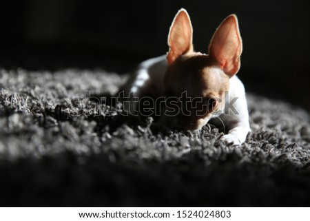 Silhouette of a chihuahua puppy. Chihuahua puppy resting on the carpet and basking in the sun.  #1524024803