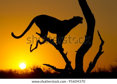 Silhouette of a female African Leopard (Panthera pardus) in a tree at sunrise, South Africa