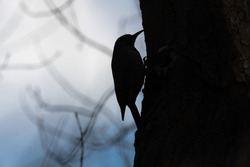 Silhouette of a flickr pecking on a tree.