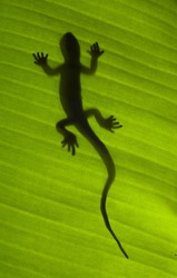 Silhouette of a gecko lizard on a green tropical leaf viewed from underneath in the sunshine.