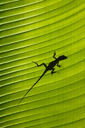 Silhouette of a gecko lizard on a waxy tropical leaf viewed from underneath in the sunshine.