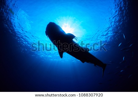 Silhouette of a huge Whale Shark in a tropical ocean #1088307920