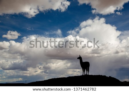 Silhouette of a Llama (Lama glama) Staring form top of a Hill at the Andes Mountains. At background Storm Sky. Llamas are Domesticated South American Camelids #1371462782