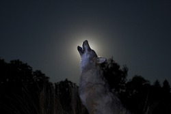 Silhouette of a male wolf in moon light