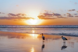 Silhouette of a pair of sacred ibis (Threskiornis aethiopicus) on the beach in Fuerteventura in the warm light of the sunrise. Invasive animal species on the Canary Islands. Wildlife concept.