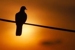 Silhouette of a pigeon perching on a wire line in the setting sun