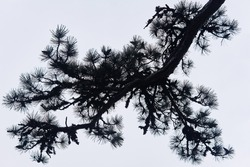 silhouette of a pine branch with needles and cones on the background of a light cloudy sky