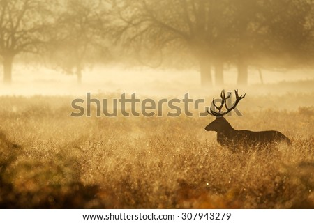 Silhouette of a red deer stag in the mist