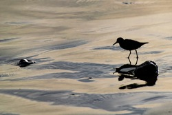 Silhouette of a sanderling (Calidris alba) small wading birds searching for food at the waters edge in Agadir, Morocco, Africa