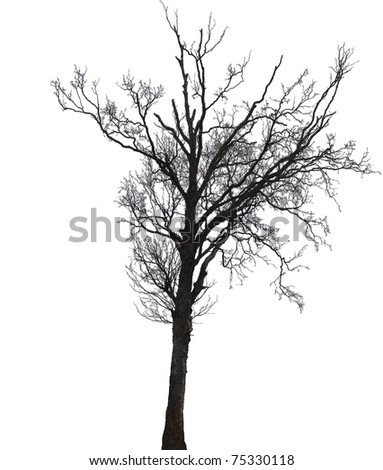 Silhouette of a single birch tree in winter isolated on white