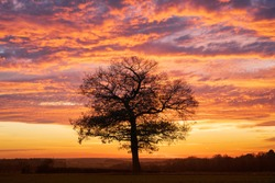 Silhouette of a solitary oak tree at sunset with a dramatic red sky. Much Hadham, Hertfordshire. UK