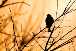 Silhouette of a Sparrow sitting on a branch against the sunset light. Bird in the branches at sunset. Background with silhouettes of a small bird and beautifully intertwining in orange light branches