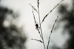 Silhouette of a spider hanging on a grass upside down. Monochrome closeup of arachnid against grey sky and blurry trees in the background.