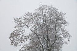 silhouette of a tree in winter. the bare branches of the trees in the background of a uniform sky.