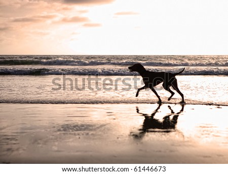 Silhouette of a Vizsla dog walking on the beach at sunset