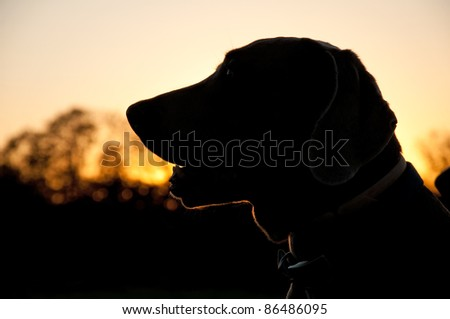 Silhouette of a Weimaraner dog against sunset