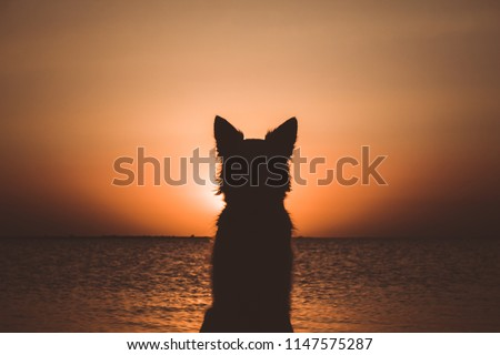 Silhouette of a white berger shepherd dog. Dog sits and looks at beautiful golden sunset (sunrise) near the ocean. Dog sits on the beach near the sea. Backlight.