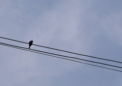 Silhouette of bird on the wires with  sky.  Alone bird.