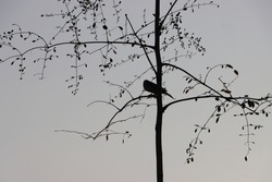 Silhouette of bird sitting lonely on tree branches in dusk and foggy condition, copy space