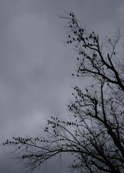 Silhouette of birds in a tree against a grey sky