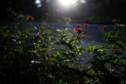 Silhouette of blooming red