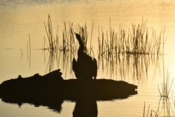 silhouette of cormorant in sunset