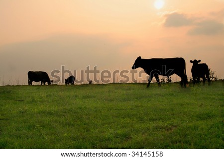 Silhouette of cows on a late evening in the country.