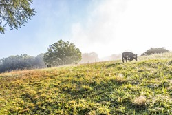 Silhouette of cows on hill of farm grazing on pasture in fog and mist with blue sky, trees, grass, morning sunlight