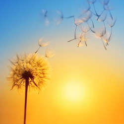 Silhouette of dandelion against the backdrop of the setting sun. Macro photography wuth place for text. Summer concept.