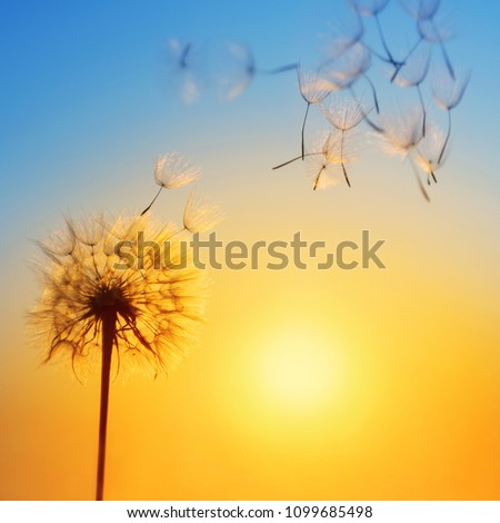 Silhouette of dandelion against the backdrop of the setting sun. Macro photography wuth place for text. Summer concept. #1099685498