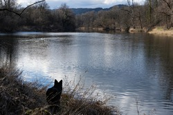 Silhouette of dog observing swan in early springtime. Mirrored water surface of Aare river with bare trees in background.