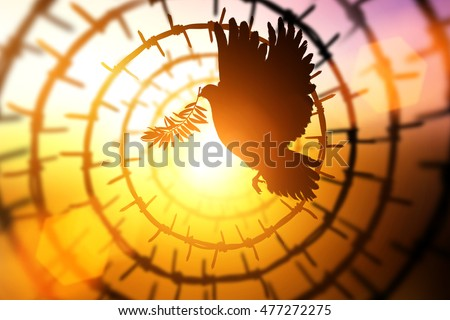 Silhouette of Dove carrying olive leaf branch flying in Circle barbed wire on sunset background for freedom and international day of peace 2016 #477272275