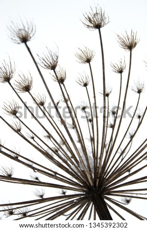 Silhouette of dry heracleum in winter with the empty seed pods filled with ice and snow