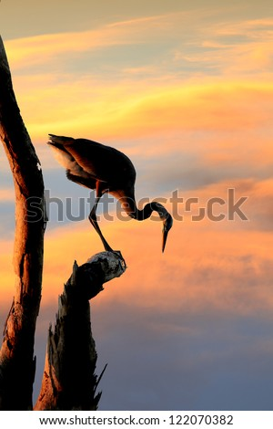 Silhouette of Great Blue Heron Looking Down from His Perch in the Dead Tree at Sunset
