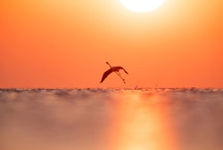 Silhouette of Greater Flamingo takeoff at Asker coast during sunrise, Bahrain