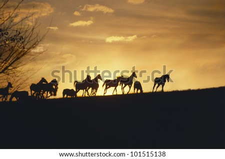 Silhouette of herd of horses running on horizon in Kentucky Foto stock ©