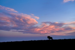 Silhouette of isolated Blue wildebeest, Connochaetes taurinus on the horizon against blue sunset sky with orange iluminated clouds. Peaceful atmosphere of african pristine nature.  Kalahari, Botswana