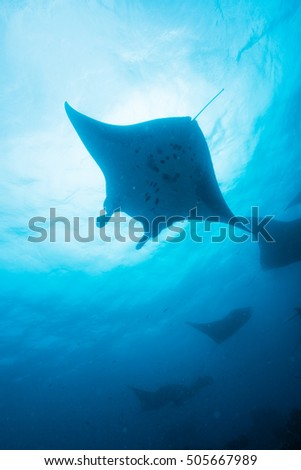 Silhouette of manta ray #505667989