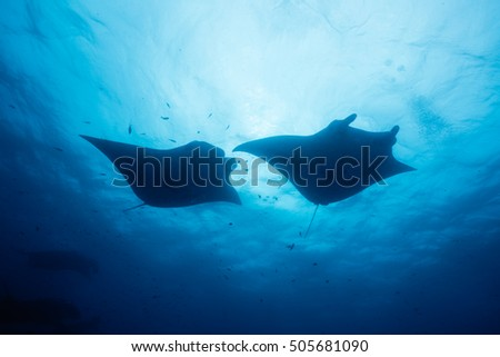 Silhouette of manta ray #505681090