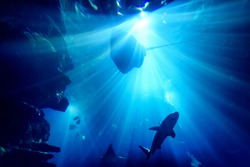 Silhouette of manta ray in aquarium with whale bones on the floor