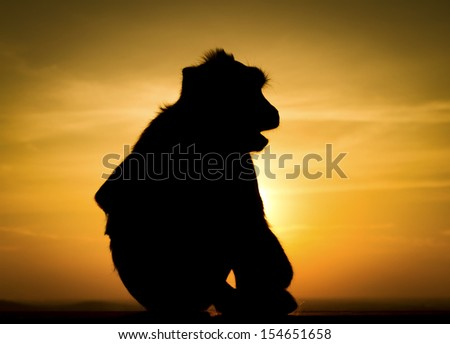Silhouette of monkey in sunset  #154651658
