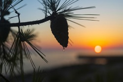 Silhouette of pine tree branch with cone and drop of resin at orange sunset, Vir island, Croatia