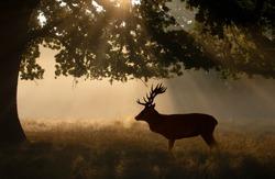 Silhouette of Red deer (Cervus elaphus) stag standing under a tree on a misty morning, UK.