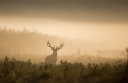 Silhouette of red deer with big antlers in reed on foggy morning. Wildlife in natural habitat